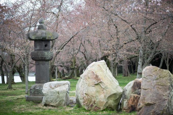 washington dc cherry blossoms march 26 2021 02 cherryblossomwatch com 678x452 - Cherry Blossom Watch Update: March 26, 2021