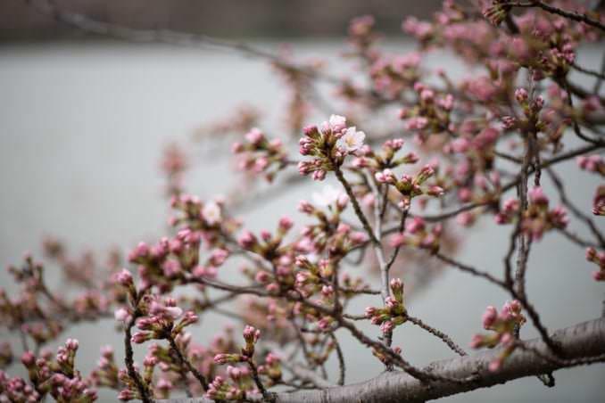 washington dc cherry blossoms march 26 2021 06 cherryblossomwatch com 678x452 - Cherry Blossom Watch Update: March 26, 2021