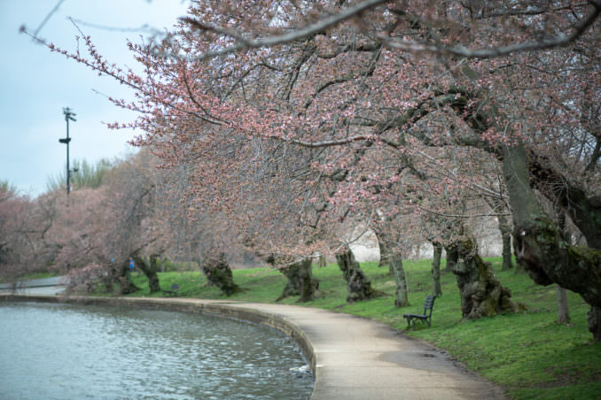 washington dc cherry blossoms march 26 2021 07 cherryblossomwatch com 678x452 - Cherry Blossom Watch Update: March 26, 2021