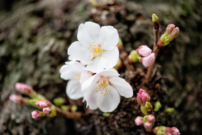 washington dc cherry blossoms march 26 2021 08 cherryblossomwatch com 678x452 - Cherry Blossom Watch Update: March 26, 2021