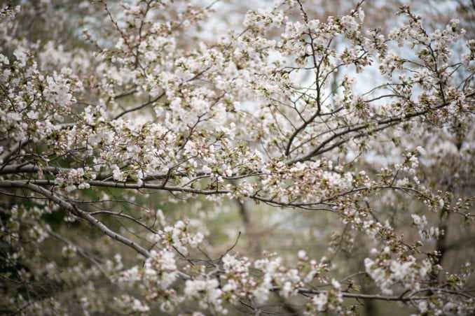washington dc cherry blossoms march 26 2021 09 cherryblossomwatch com 678x452 - Cherry Blossom Watch Update: March 26, 2021