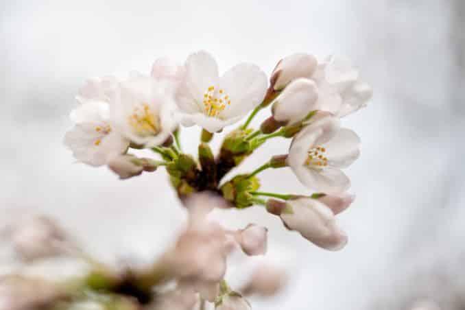 washington dc cherry blossoms march 26 2021 11 cherryblossomwatch com 678x452 - Cherry Blossom Watch Update: March 26, 2021