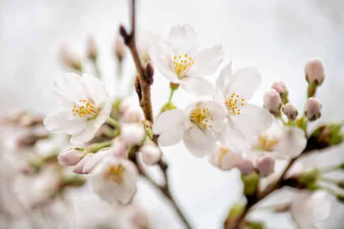 washington dc cherry blossoms march 26 2021 12 cherryblossomwatch com 678x452 - Cherry Blossom Watch Update: March 26, 2021