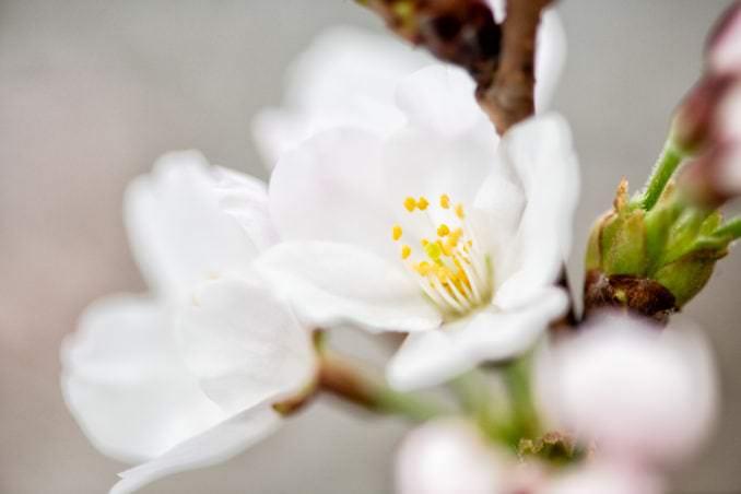washington dc cherry blossoms march 26 2021 13 cherryblossomwatch com 678x452 - Cherry Blossom Watch Update: March 26, 2021