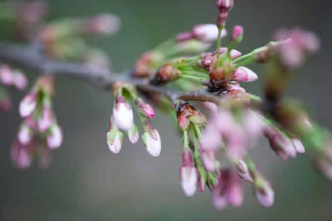 washington dc cherry blossoms march 26 2021 14 cherryblossomwatch com 678x452 - Cherry Blossom Watch Update: March 26, 2021