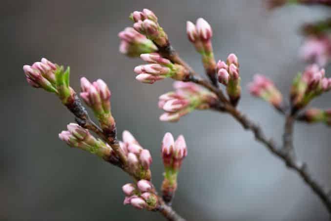 washington dc cherry blossoms march 26 2021 18 cherryblossomwatch com 678x452 - Cherry Blossom Watch Update: March 26, 2021