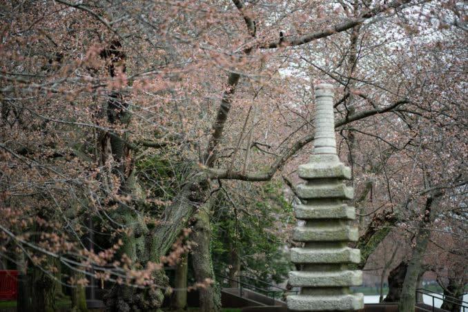 washington dc cherry blossoms march 26 2021 19 cherryblossomwatch com 678x452 - Cherry Blossom Watch Update: March 26, 2021