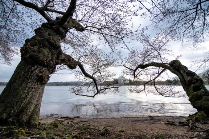 washington dc cherry blossoms march 26 2021 21 cherryblossomwatch com 678x452 - Cherry Blossom Watch Update: March 26, 2021