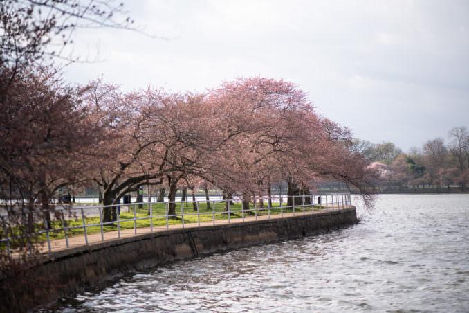 washington dc cherry blossoms march 26 2021 30 cherryblossomwatch com 678x452 - Cherry Blossom Watch Update: March 26, 2021
