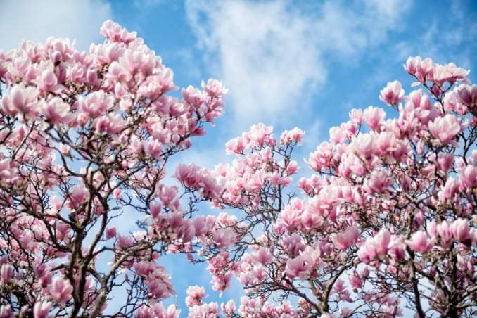 washington dc cherry blossoms march 26 2021 35 cherryblossomwatch com 678x452 - Cherry Blossom Watch Update: March 26, 2021