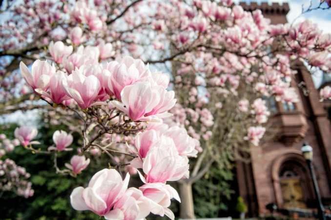 washington dc cherry blossoms march 26 2021 36 cherryblossomwatch com 678x452 - Cherry Blossom Watch Update: March 26, 2021