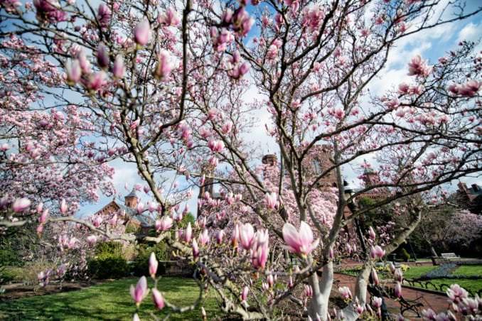 washington dc cherry blossoms march 26 2021 38 cherryblossomwatch com 678x452 - Cherry Blossom Watch Update: March 26, 2021
