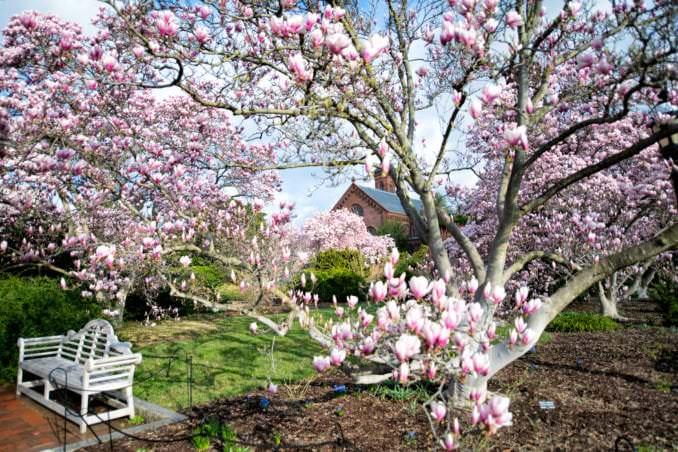 washington dc cherry blossoms march 26 2021 40 cherryblossomwatch com 678x452 - Cherry Blossom Watch Update: March 26, 2021