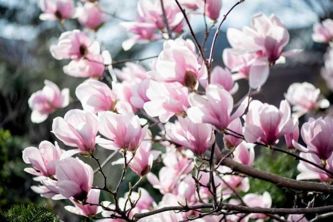 washington dc cherry blossoms march 26 2021 45 cherryblossomwatch com 678x452 - Cherry Blossom Watch Update: March 26, 2021