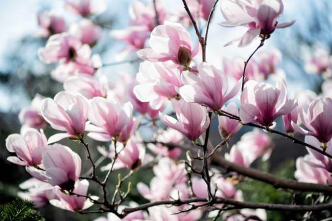 washington dc cherry blossoms march 26 2021 47 cherryblossomwatch com 678x452 - Cherry Blossom Watch Update: March 26, 2021