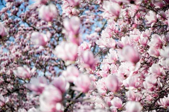 washington dc cherry blossoms march 26 2021 48 cherryblossomwatch com 678x452 - Cherry Blossom Watch Update: March 26, 2021
