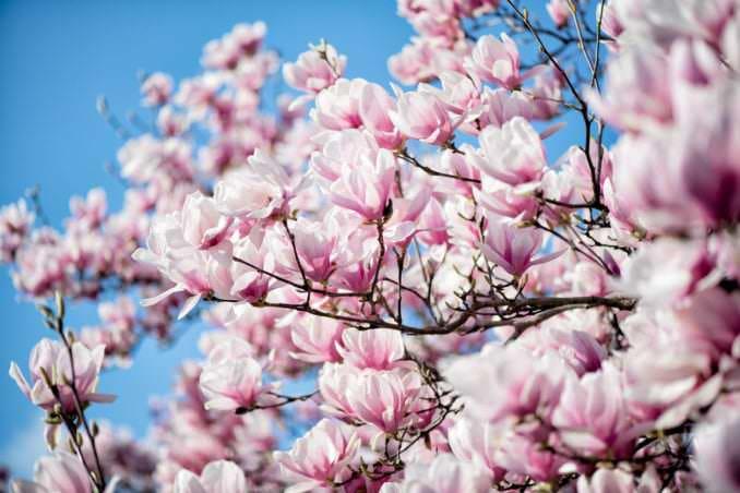 washington dc cherry blossoms march 26 2021 49 cherryblossomwatch com 678x452 - Cherry Blossom Watch Update: March 26, 2021