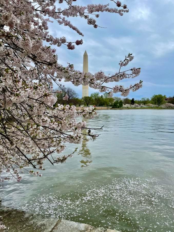 washington dc cherry blossoms april 01 2021 29 cherryblossomwatch com 678x904 - Reader Photos 2021 | Part 1
