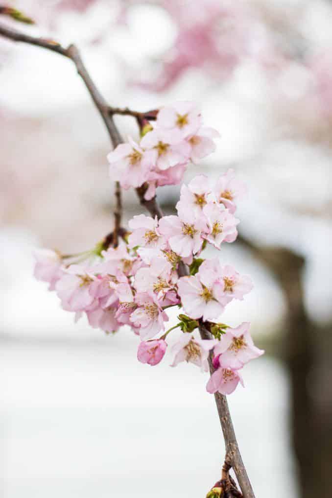 washington dc cherry blossoms april 01 2021 30 cherryblossomwatch com 678x1017 - Reader Photos 2021 | Part 1