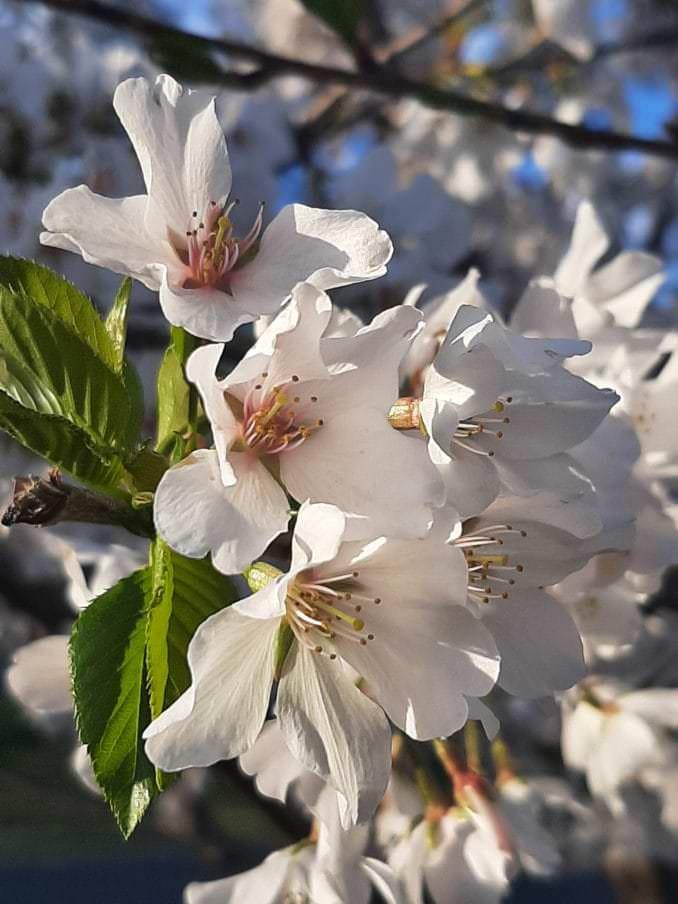 washington dc cherry blossoms april 02 2021 04 cherryblossomwatch com 1 678x904 - Reader Photos 2021   Part 2