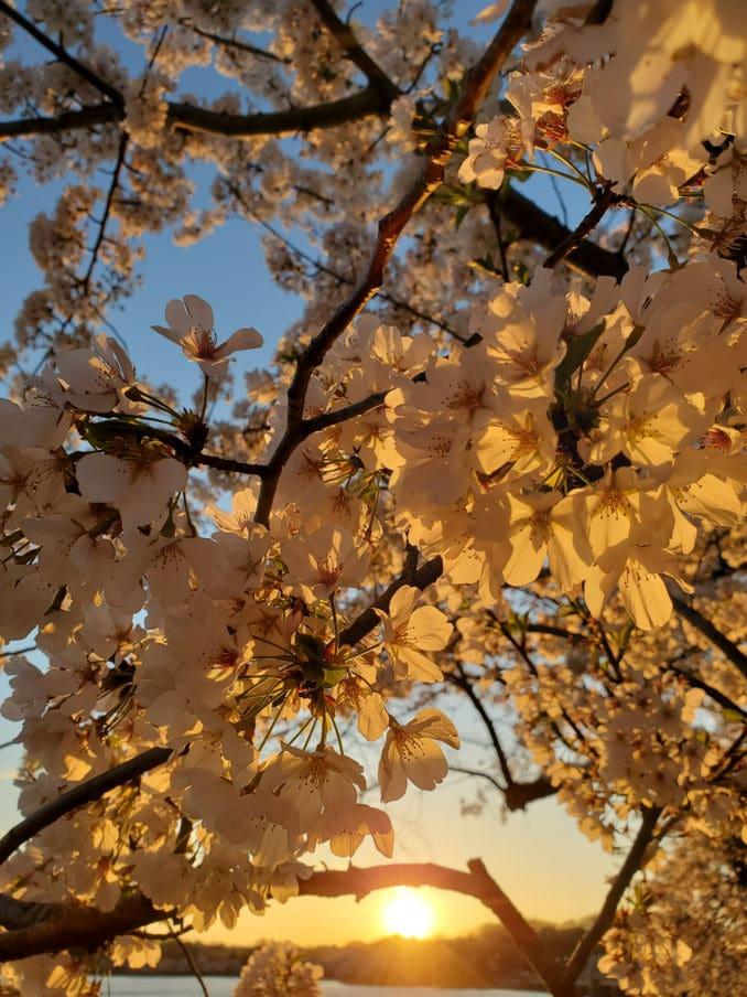 washington dc cherry blossoms april 02 2021 05 cherryblossomwatch com 1 678x904 - Reader Photos 2021   Part 2