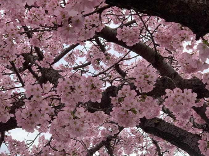 washington dc cherry blossoms april 02 2021 08 cherryblossomwatch com 1 678x509 - Reader Photos 2021   Part 2