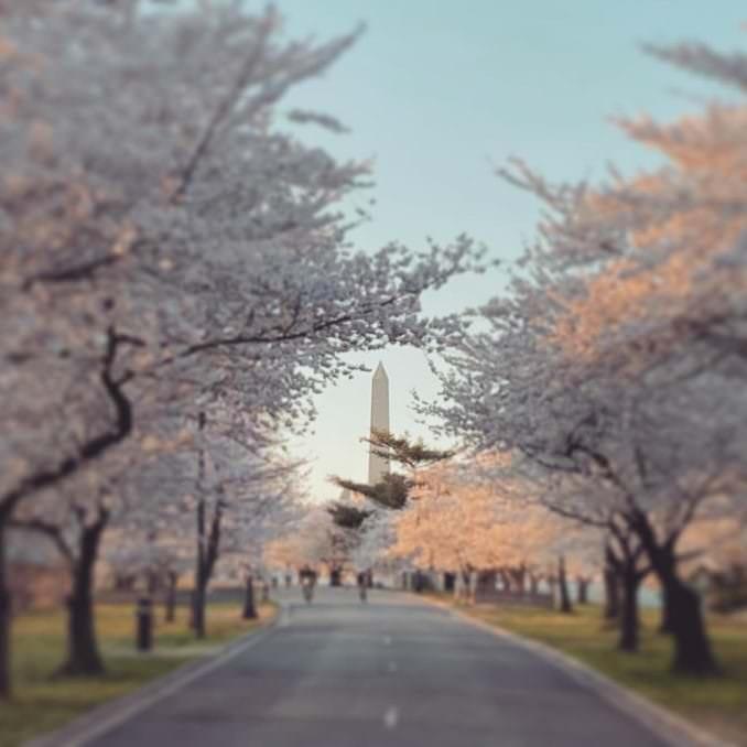 washington dc cherry blossoms april 02 2021 09 cherryblossomwatch com 1 678x678 - Reader Photos 2021   Part 2