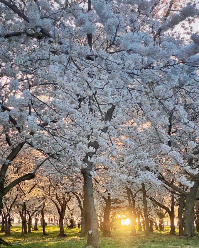 washington dc cherry blossoms april 02 2021 33 cherryblossomwatch com 1 678x847 - Reader Photos 2021 | Part 1