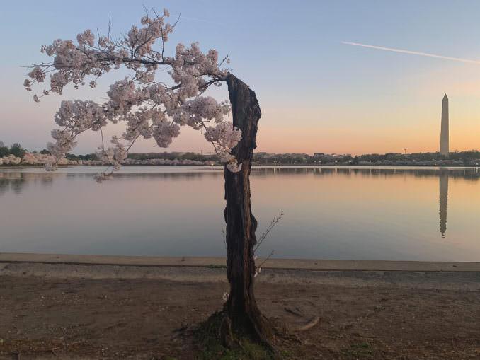 washington dc cherry blossoms april 02 2021 34 cherryblossomwatch com 1 678x509 - Reader Photos 2021 | Part 1