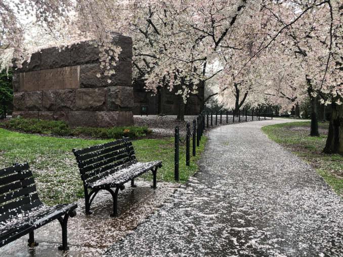 washington dc cherry blossoms april 02 2021 37 cherryblossomwatch com 1 678x509 - Reader Photos 2021 | Part 1