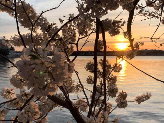 washington dc cherry blossoms april 03 2021 10 cherryblossomwatch com 678x509 - Reader Photos 2021   Part 2