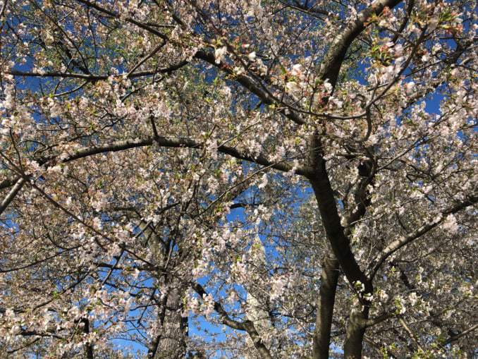 washington dc cherry blossoms april 03 2021 12 cherryblossomwatch com 678x509 - Reader Photos 2021   Part 2