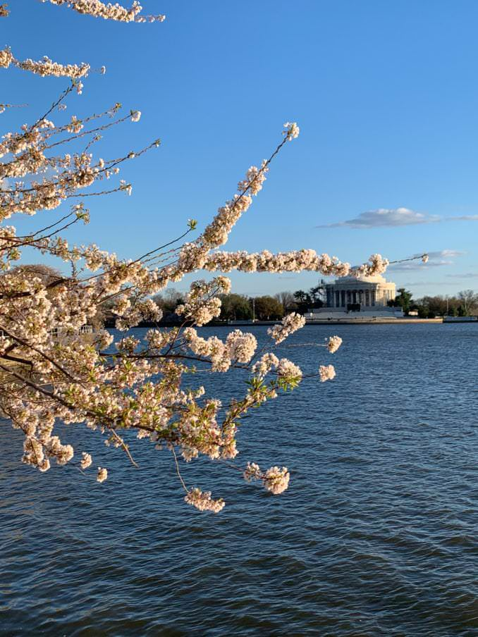 washington dc cherry blossoms april 03 2021 13 cherryblossomwatch com 678x904 - Reader Photos 2021   Part 2