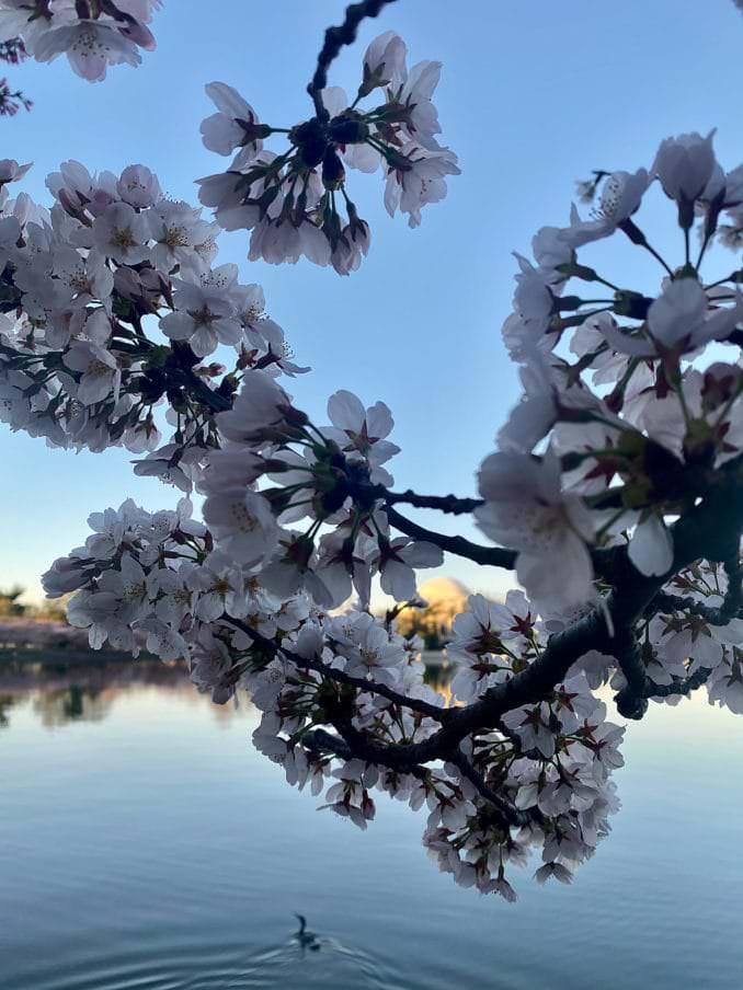 washington dc cherry blossoms april 03 2021 16 cherryblossomwatch com 678x904 - Reader Photos 2021   Part 2