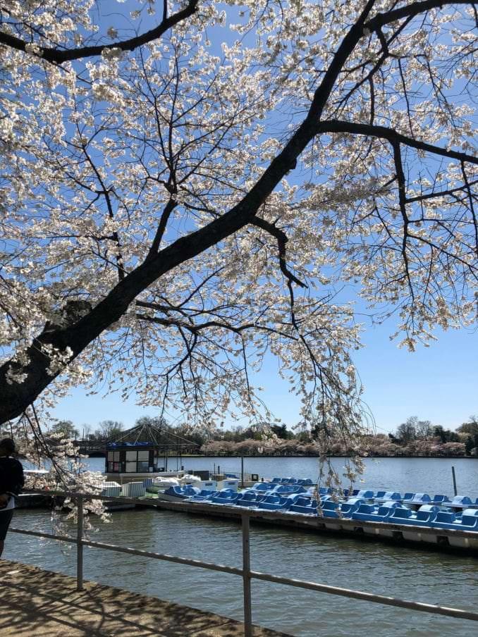 washington dc cherry blossoms april 03 2021 17 cherryblossomwatch com 678x904 - Reader Photos 2021   Part 2