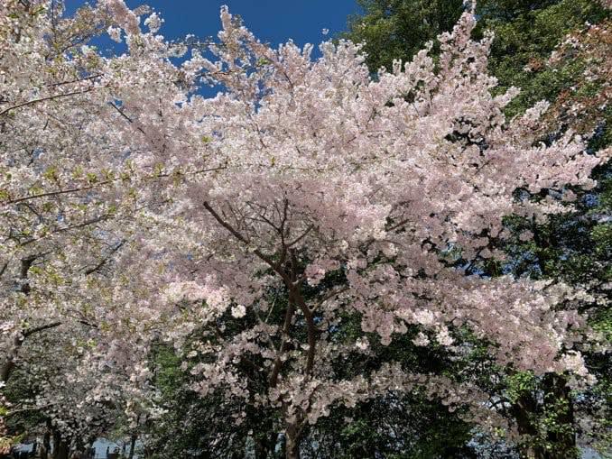 washington dc cherry blossoms april 04 2021 19 cherryblossomwatch com 678x509 - Reader Photos 2021   Part 2