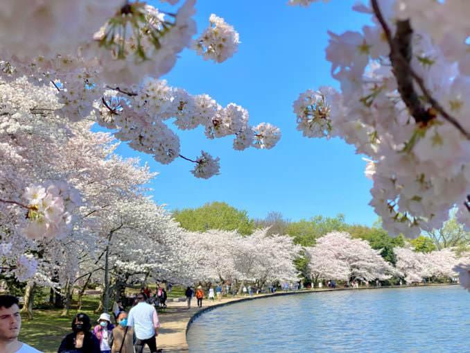 washington dc cherry blossoms april 04 2021 21 cherryblossomwatch com 678x509 - Reader Photos 2021   Part 2
