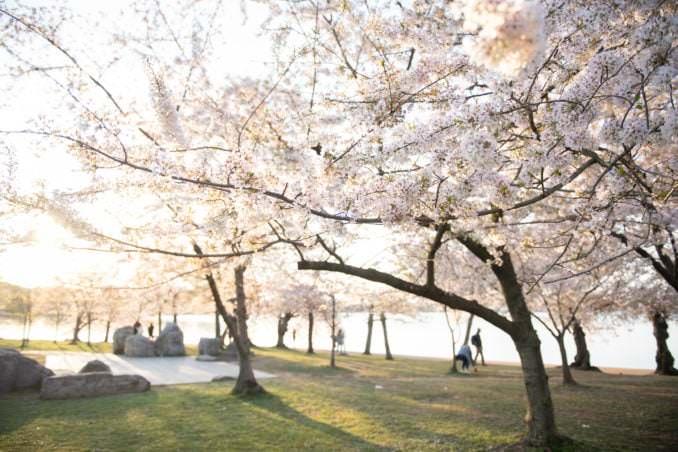 washington dc cherry blossoms april 05 2021 01 cherryblossomwatch com 678x452 - Cherry Blossom Watch Update: April 5, 2021