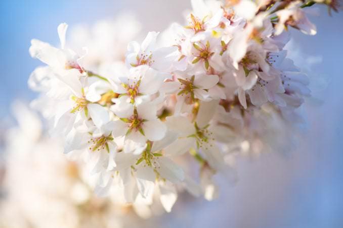 washington dc cherry blossoms april 05 2021 02 cherryblossomwatch com 678x452 - Cherry Blossom Watch Update: April 5, 2021