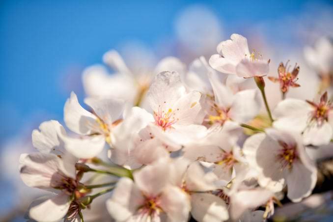washington dc cherry blossoms april 05 2021 03 cherryblossomwatch com 678x452 - Cherry Blossom Watch Update: April 5, 2021