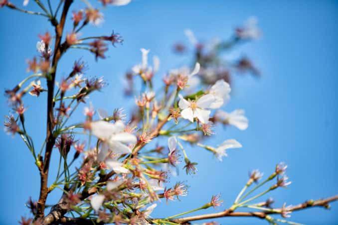 washington dc cherry blossoms april 05 2021 04 cherryblossomwatch com 678x452 - Cherry Blossom Watch Update: April 5, 2021