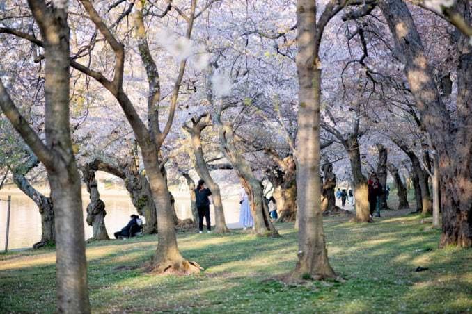 washington dc cherry blossoms april 05 2021 05 cherryblossomwatch com 678x452 - Cherry Blossom Watch Update: April 5, 2021