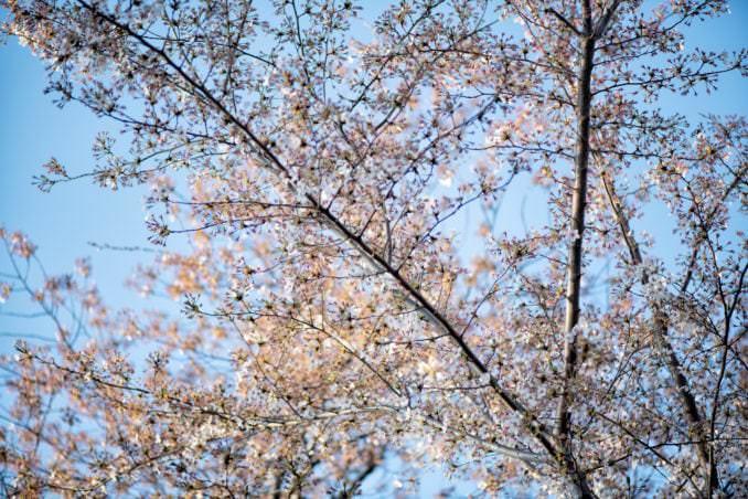 washington dc cherry blossoms april 05 2021 06 cherryblossomwatch com 678x452 - Cherry Blossom Watch Update: April 5, 2021