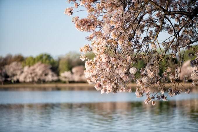 washington dc cherry blossoms april 05 2021 07 cherryblossomwatch com 678x452 - Cherry Blossom Watch Update: April 5, 2021