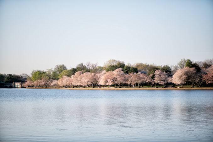 washington dc cherry blossoms april 05 2021 08 cherryblossomwatch com 678x452 - Cherry Blossom Watch Update: April 5, 2021