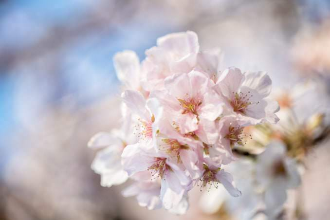 washington dc cherry blossoms april 05 2021 09 cherryblossomwatch com 678x452 - Cherry Blossom Watch Update: April 5, 2021