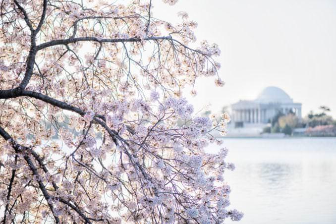 washington dc cherry blossoms april 05 2021 10 cherryblossomwatch com 678x452 - Cherry Blossom Watch Update: April 5, 2021