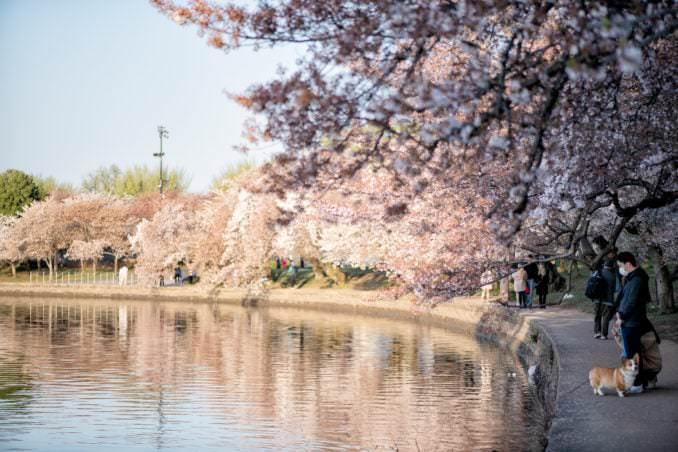 washington dc cherry blossoms april 05 2021 11 cherryblossomwatch com 678x452 - Cherry Blossom Watch Update: April 5, 2021