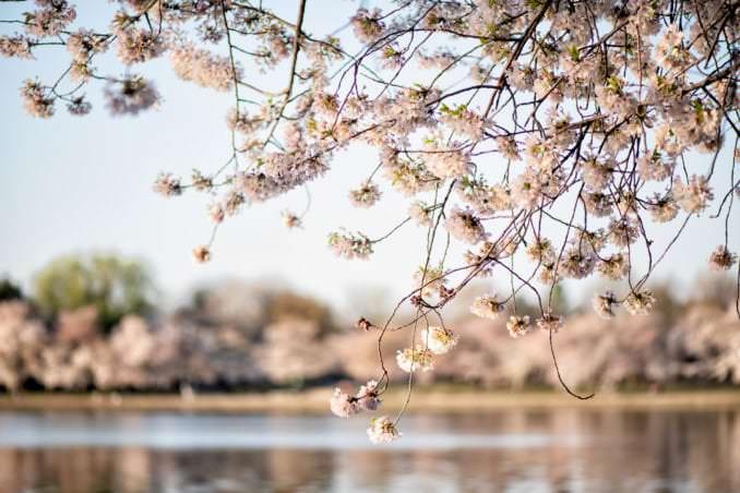 washington dc cherry blossoms april 05 2021 12 cherryblossomwatch com 678x452 - Cherry Blossom Watch Update: April 5, 2021