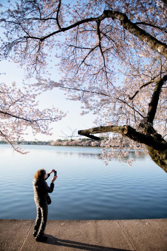 washington dc cherry blossoms april 05 2021 15 cherryblossomwatch com 678x1017 - Cherry Blossom Watch Update: April 5, 2021